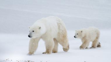 Aproape toți urșii polari ar putea muri în următorii 80 de ani (studiu)