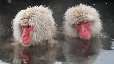 Japanese Macaque Monkeys Bathe In Hot Springs