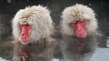 Japanese Macaque Monkeys Bathe In Hot Springs