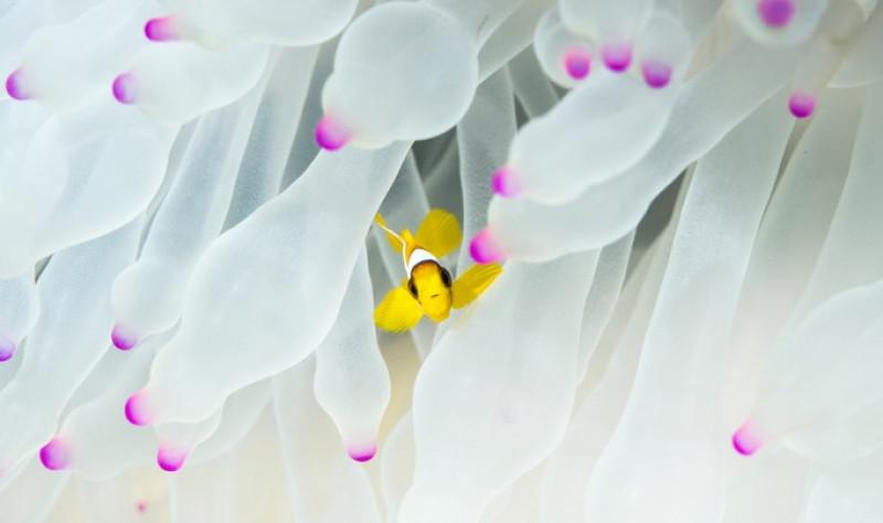 peste clovn anemone - morgan bennett smith