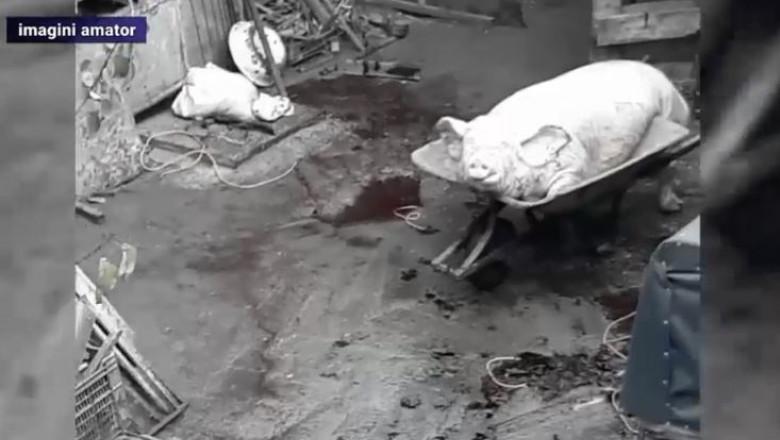 porci-sacrificati-bucuresti