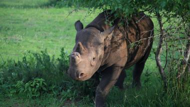 Fausta, rinocer negru