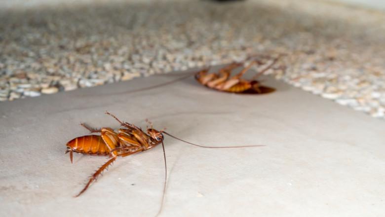 Dead cockroaches on the floor