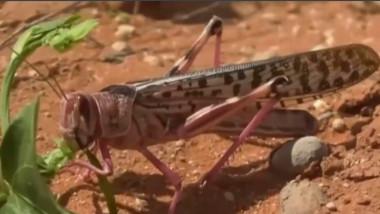 Invazie uriașă de lăcuste din cauza schimbărilor climatice