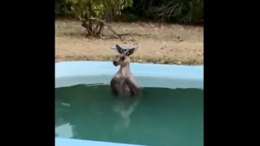 Un cangur se racoreste in piscina in Australia devastata de incendii de vegetatie