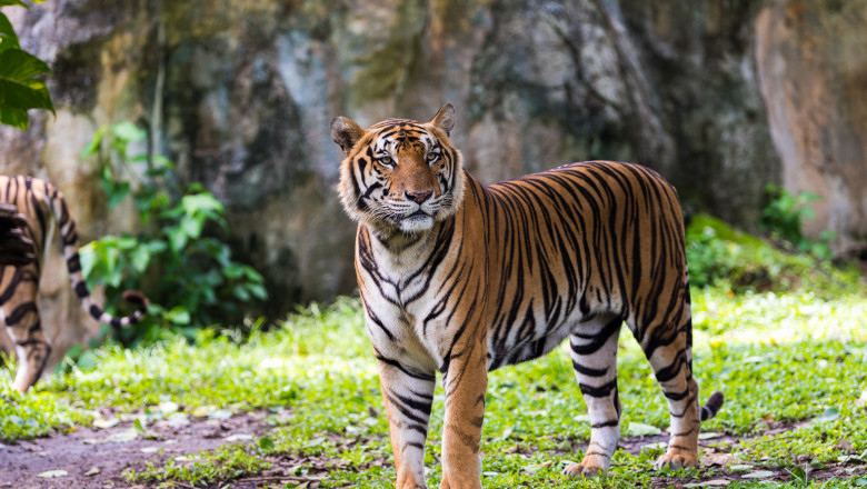A Bengal Tiger in forest
