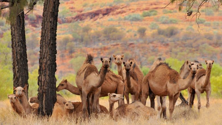 Australian feral camels, mostly dromedaries (Camelus dromedarius) Outback Queensland, Australia.