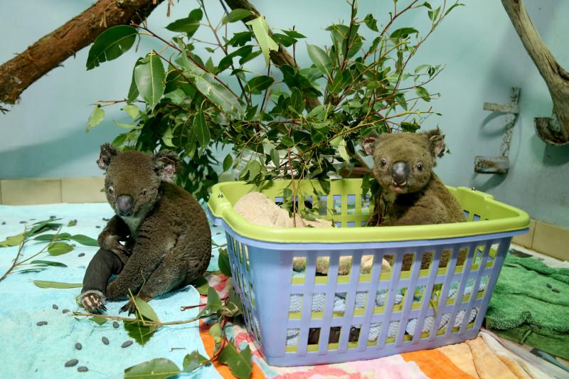 Urși koala afectați de incendiile din Australia