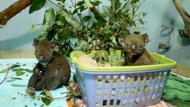 urși koala afectați de incendii Australia