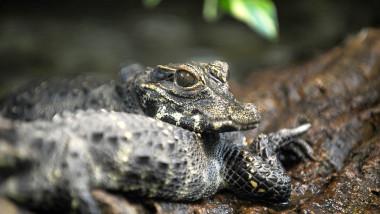 crocodil agerpres_3328449