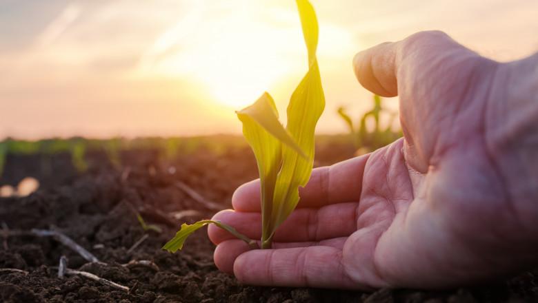Farmer examining young green corn maize crop