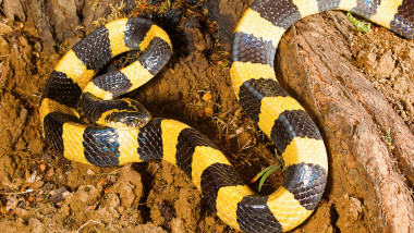 Banded krait, Bungarus fasciatus, Raipur, Chhattisharg. One of the largest kraits, with a maximum length up to 2.1 m Venomous. Common