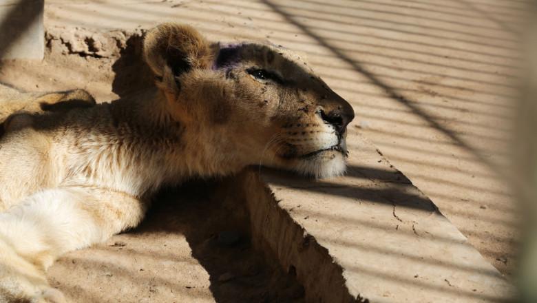Starving animals in Sudan Zoo