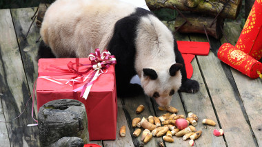 CHINA-CHONGQING-GIANT PANDAS-NEW YEAR GREETING (CN)