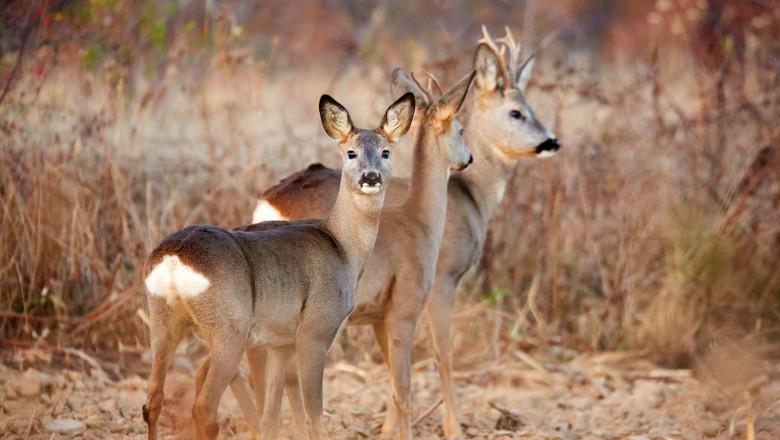 A couple of roe deer