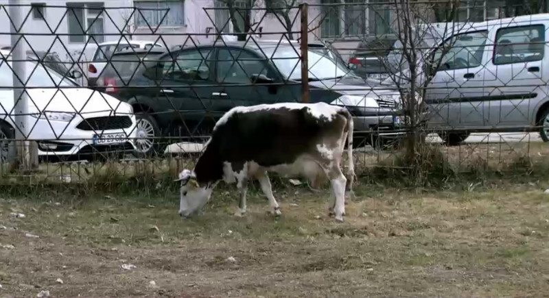 vaca la gradinita