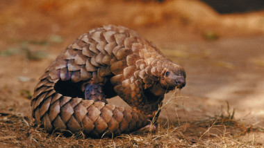 pangolin-GettyImages-87556367