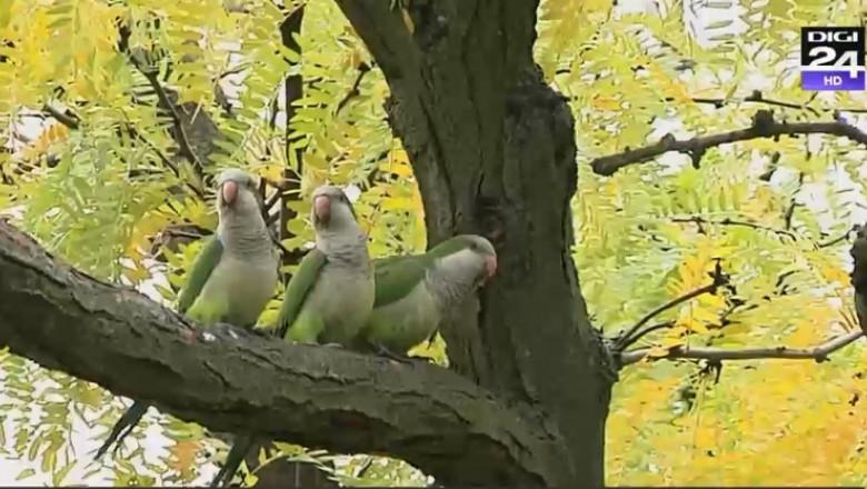 Papagalii-călugăr dau bătăi de cap locuitorilor din Madrid