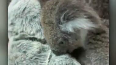 koala jucarie