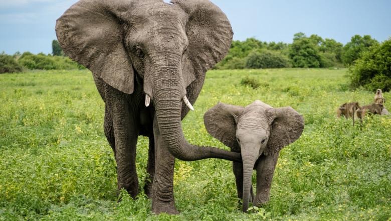 Elefant alaturi de puiul sau