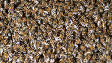 Dresden, Germany. 11th June, 2019. A swarm of bees can be seen on a cherry tree in an allotment garden. The swarm drive serves the natural endeavor of the honey bees to increase their states by division. This drive is triggered by the strengthening of the