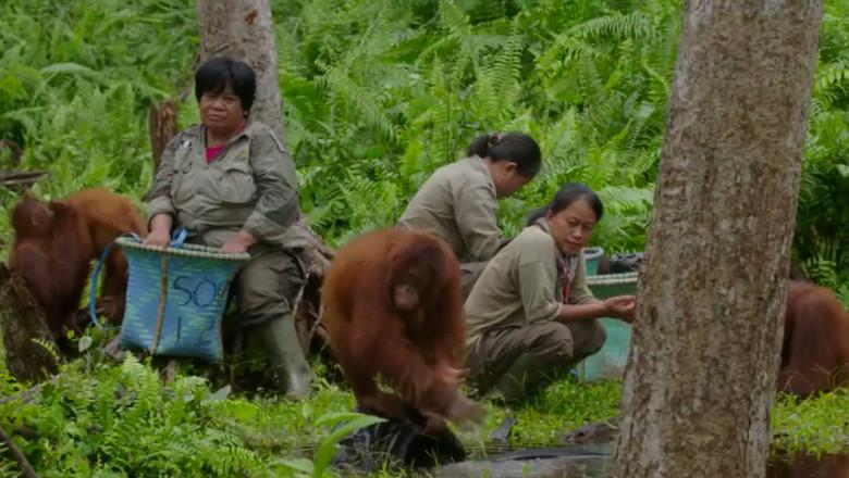 orangutan din Borneo, se spală pe mâini