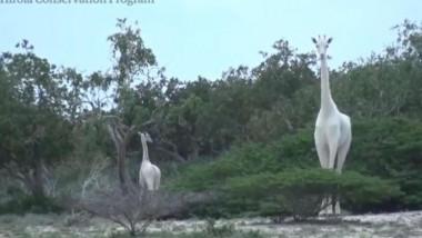 girafe albe Kenya