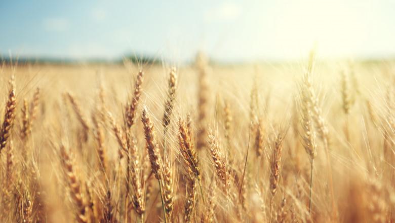cereale grau agricultura