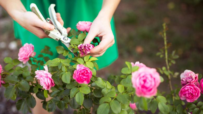 trandafiri gradina gradinarit