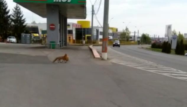 VIDEO. Vulpe surprinsa de politisti in timp ce fura o gaina. A scapat la limita sa nu fie calcata de masina