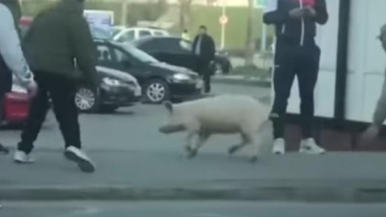 porc-fugit-740x340