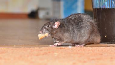 Black pet rat