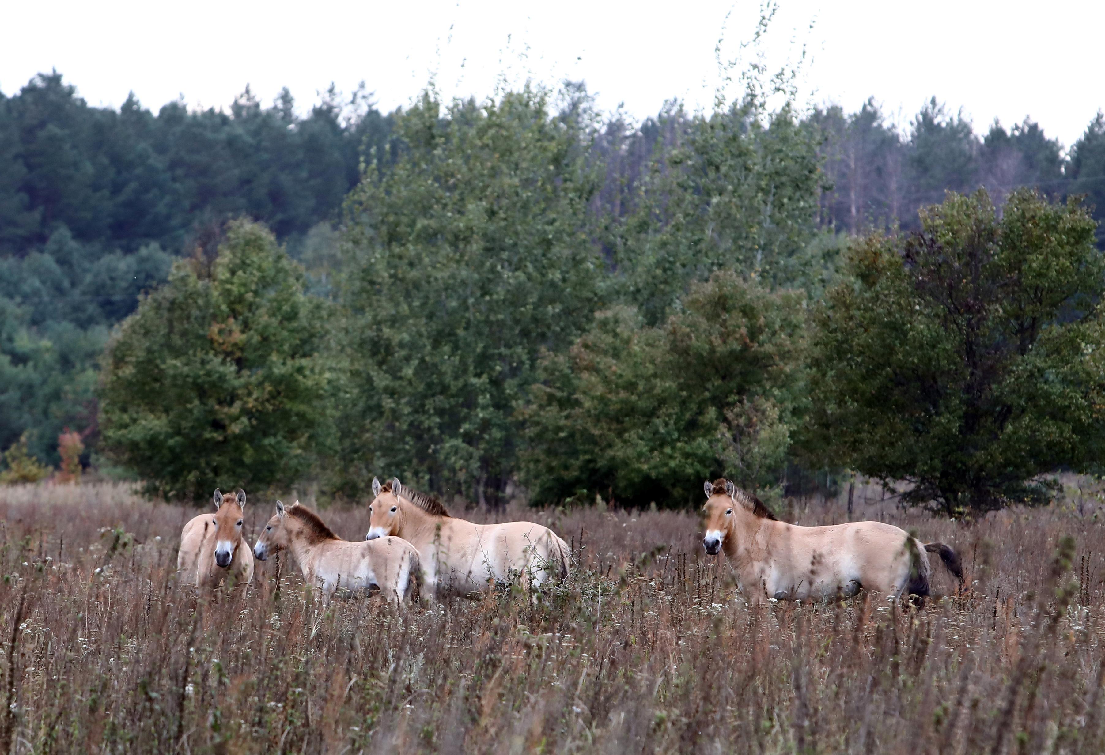 Misterul cailor salbatici de la Cernobil