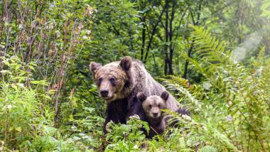 urşi bruni România, ursoaică cu puiul ei