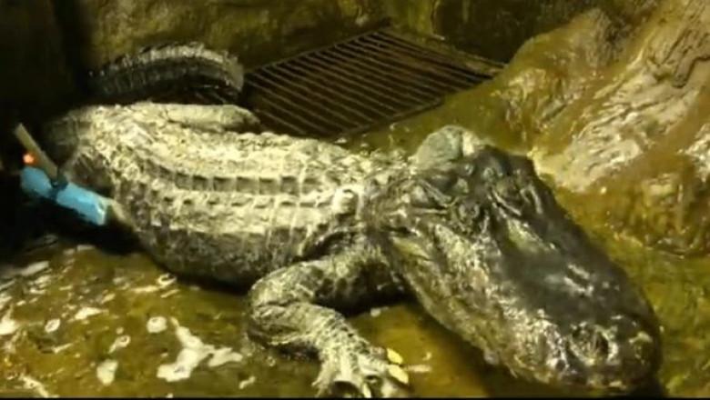 Aligatorul care a supraviețuit bombardamentelor din Germania, în timpul celui De-al Doilea Război Mondial, a murit în captivitate