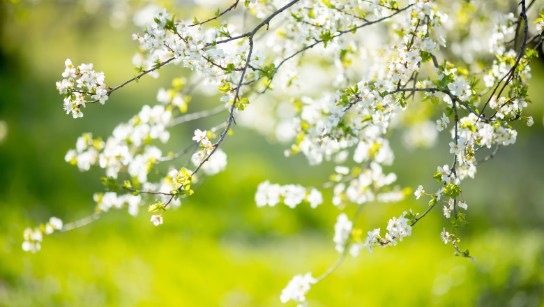 Cherry blossoms at the park, spring day, april