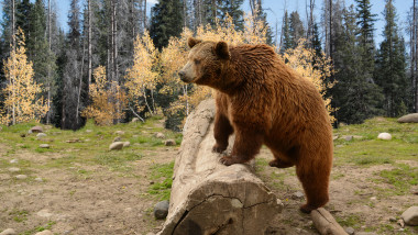 Un urs grizzly a fost observat in parcul national Yellowstone din SUA