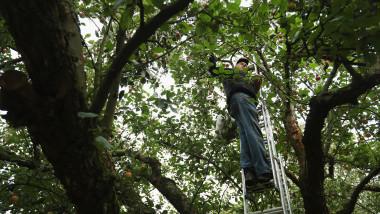 Apple Harvest Underway In Brandenburg