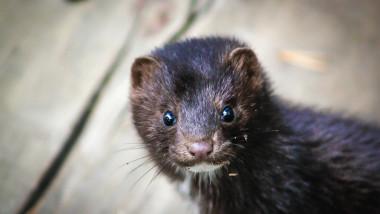 Curious mink