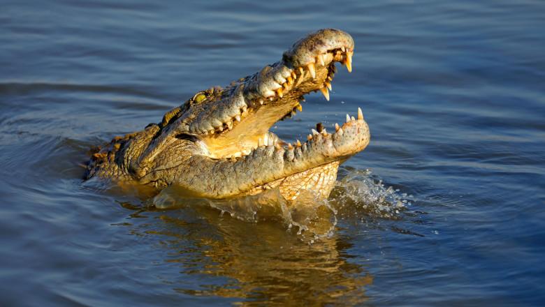 crocodilul de nil este o reptila periculoasa