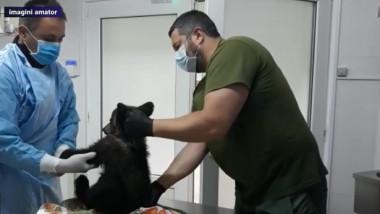 ursulet la veterinar