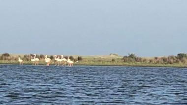 Păsări Flamingo au ajuns în Delta Dunării