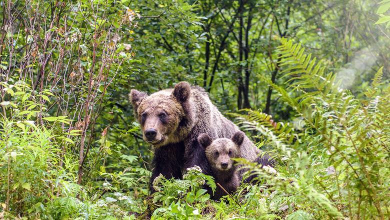 ursoaică cu pui de urs