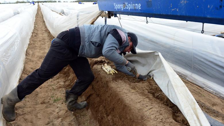 muncitor român la o fermă de sparanghel