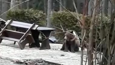 pui-de-urs-impuscat