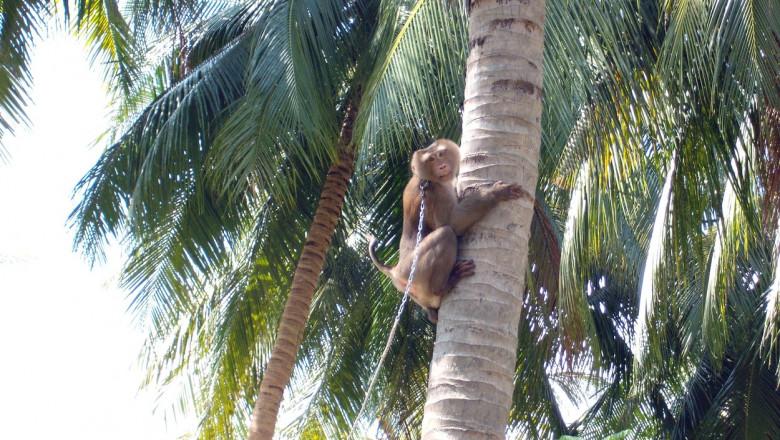maimuta in lanturi