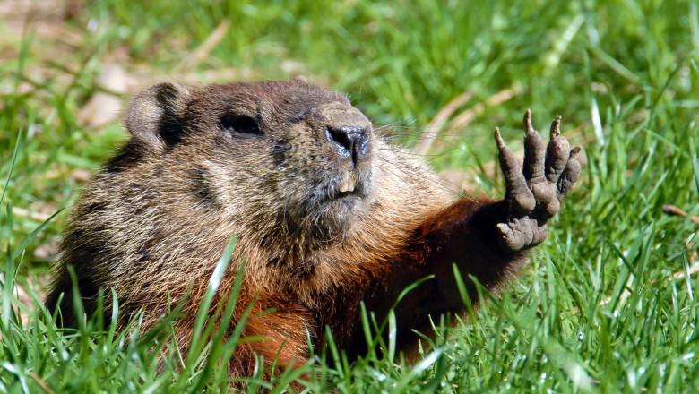 Rusia interzice vanatoarea de marmote dupa aparitia unui caz de ciuma