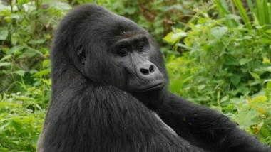 gorila Rrafiki