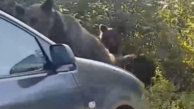 ursi loviti de masina