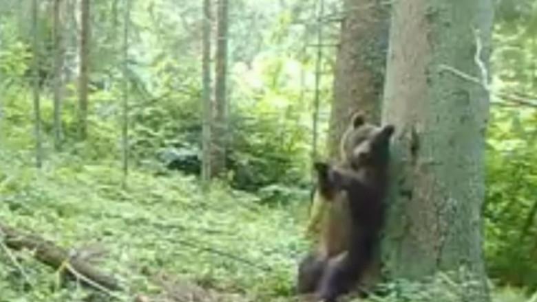 ursulet-calimani